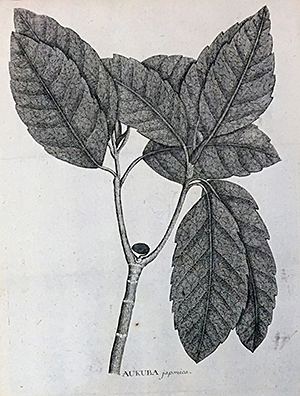 Aukuba japonica. Illustration from Flora Japonica by Carl Peter Thunberg.